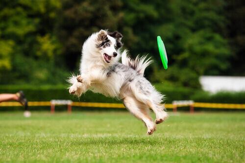 Cachorro pulando, brincando com um frisbee