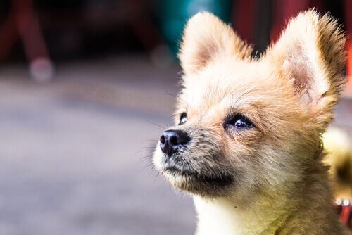 Filhote de cão marrom