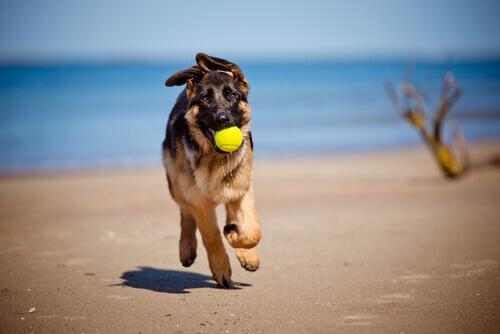 Cachorro na praia com bola na boca