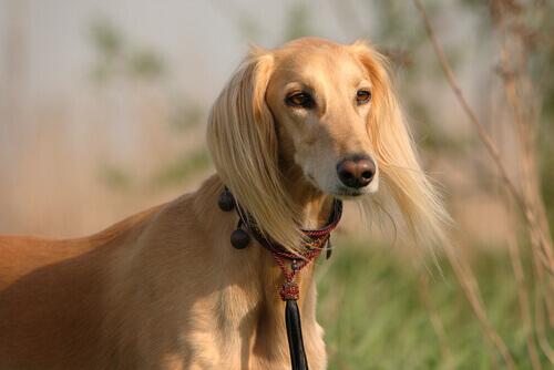 Cão Saluki
