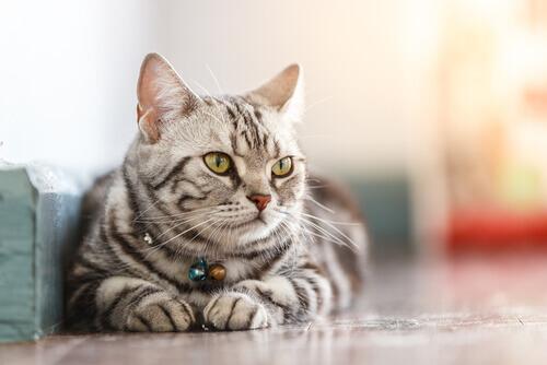 Gato tigrado com coleira com guizos