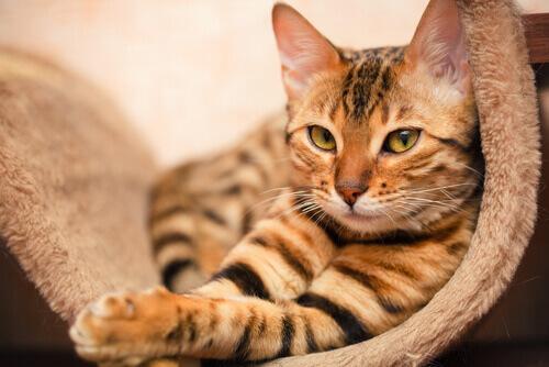 Gato tigrado descansando