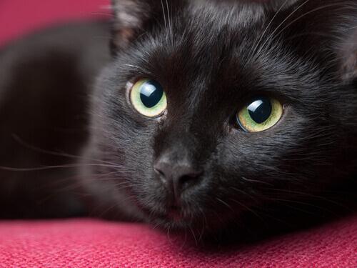 Lindo gato preto deitado