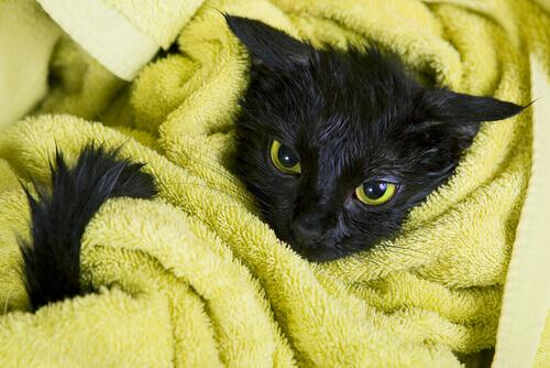 gato preta enrolado em uma toalha