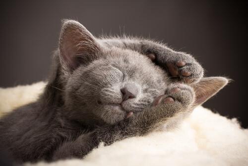 Filhote de gato azul russo