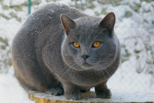 Raças de gato de pelo curto