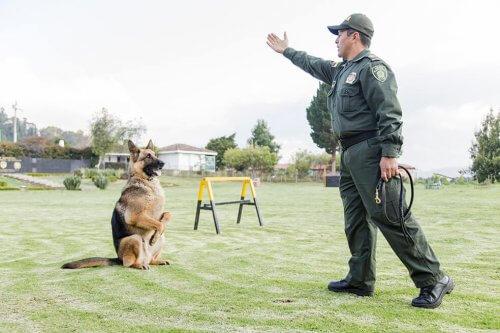 Pastor Alemão sendo treinado como cão policial