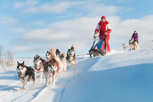 Grupo de cães da raça husky siberiano puxando trenós na neve