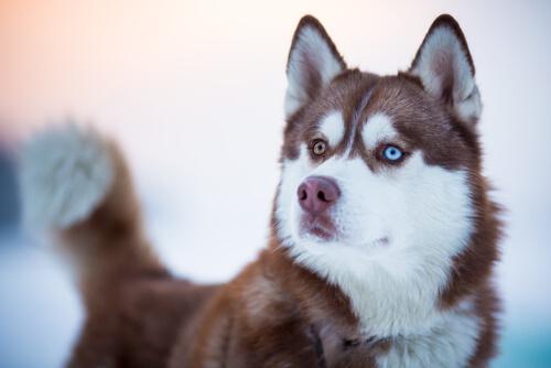 husky siberiano com olhos de cores diferentes