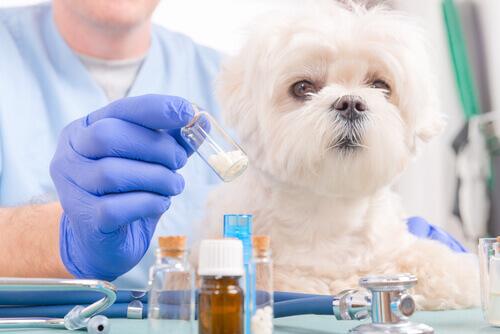 A toxicidade do ibuprofeno em cachorros