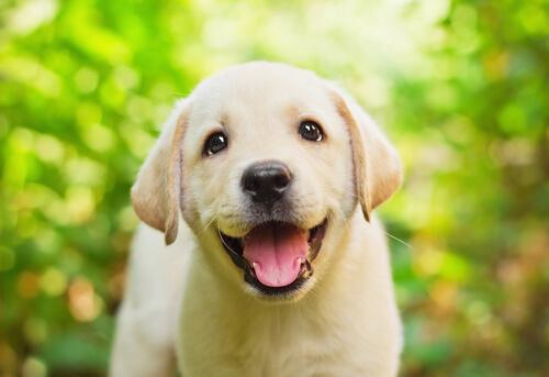 Filhote de Labrador Retriever