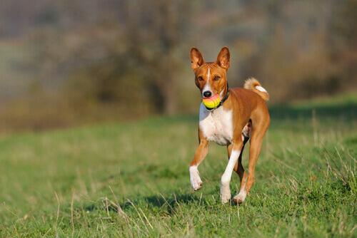 Qual é a raça de cachorro que late menos?