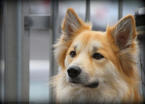 Como se deve limpar os ouvidos dos cachorros?