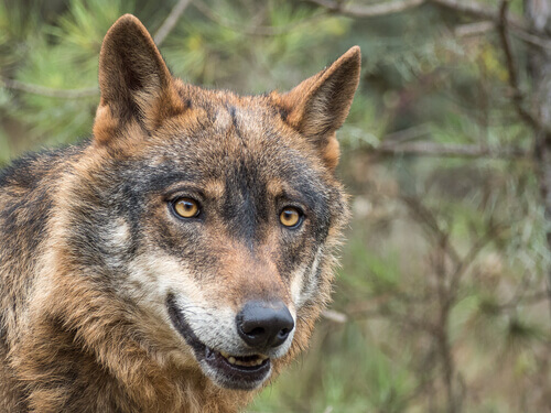 O lobo-ibérico está em perigo de extinção