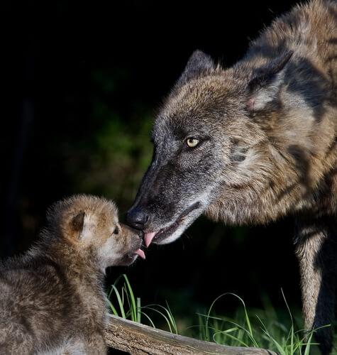 loba lambendo filhote