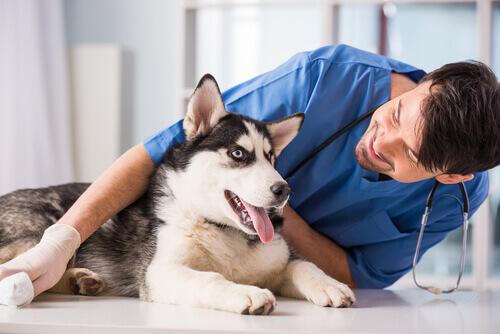 Cão com parvovirose sendo consultado pelo veterinário