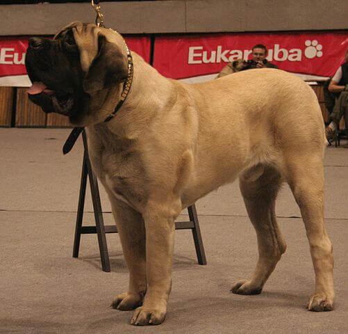 Cão molossoide