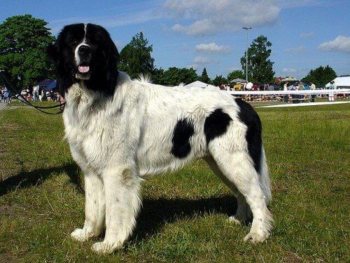 Cão molosso preto e branco