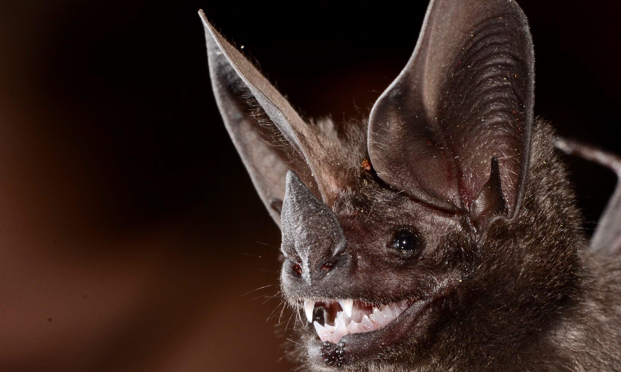 Morcego orelha de funil