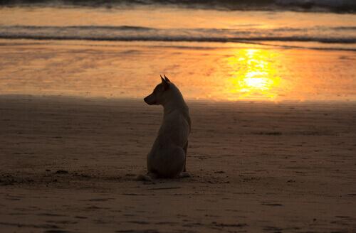 Cão na praia durante o pôr do sol