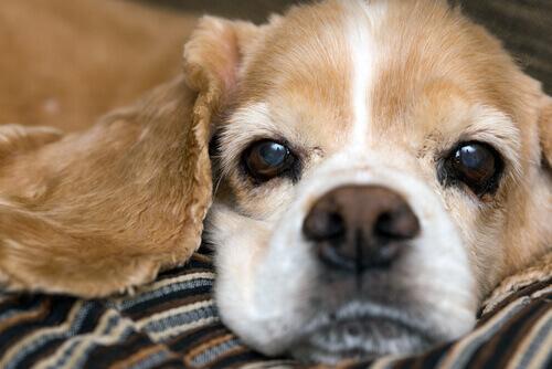Cachorro com nariz seco branco e marrom