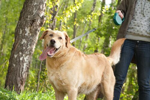 Cão passeando na coleira