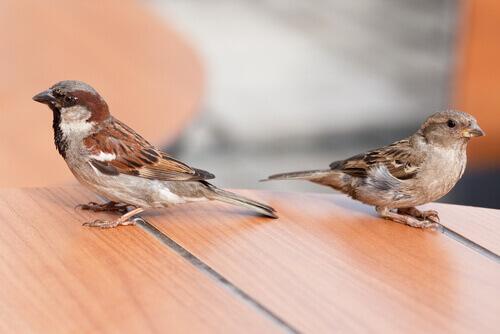O pardal-doméstico ou pardal-do-telhado