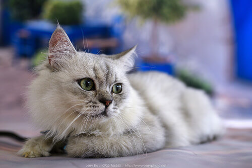 Curiosidades sobre as patas dos gatos