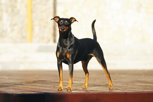Cão da raça Pinscher preto