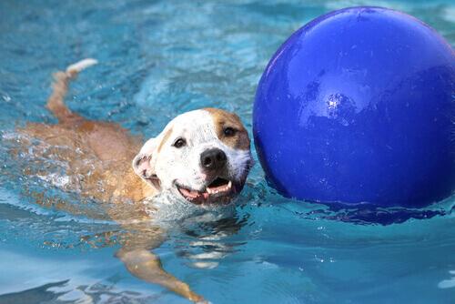 Cão brincando com bola numa piscina