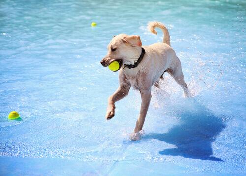 Cão com uma bola na boca, brincando na piscina