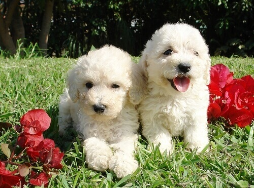Cães brancos da raça Barbet
