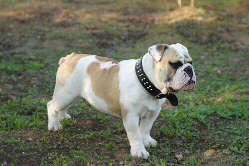 As 8 raças de cachorro mais caras
