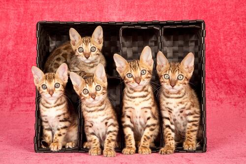 gatos bengala