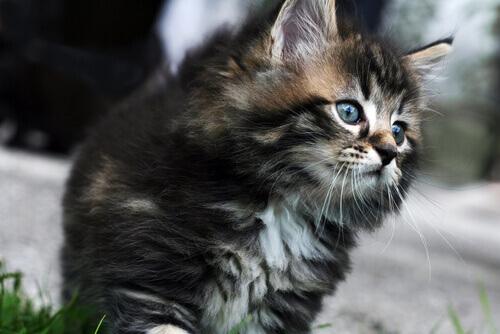 As raças de gatos mais caras