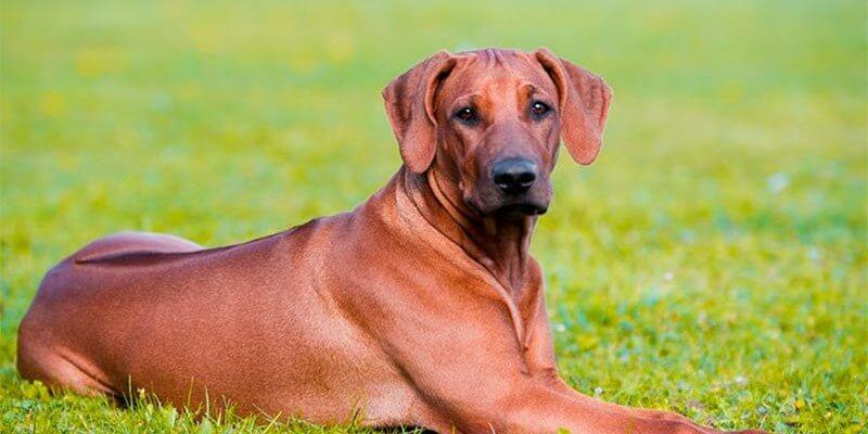 Cão crestado rodesiano