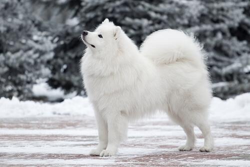 Cão da raça samoieda