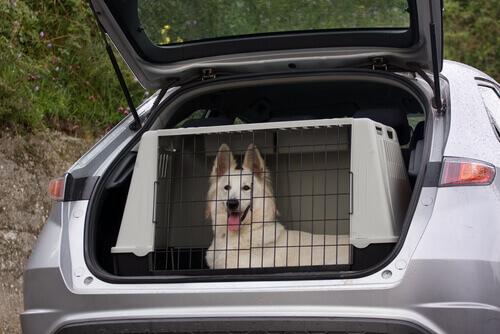 cão branco numa caixa de transporte dentro do porta-malas do carro