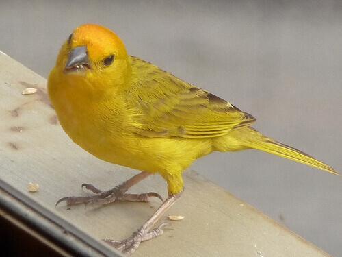 Como saber o sexo de um pássaro