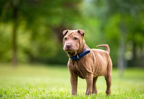 O shar pei é uma das raças de cães mais antigas