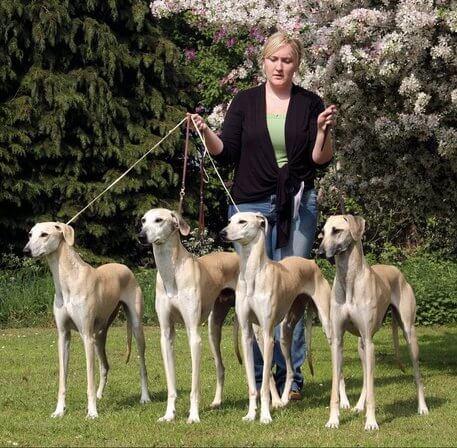 Cães da raça Sloughi