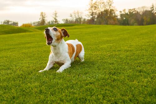 Cachorro branco e marrom latindo no campo