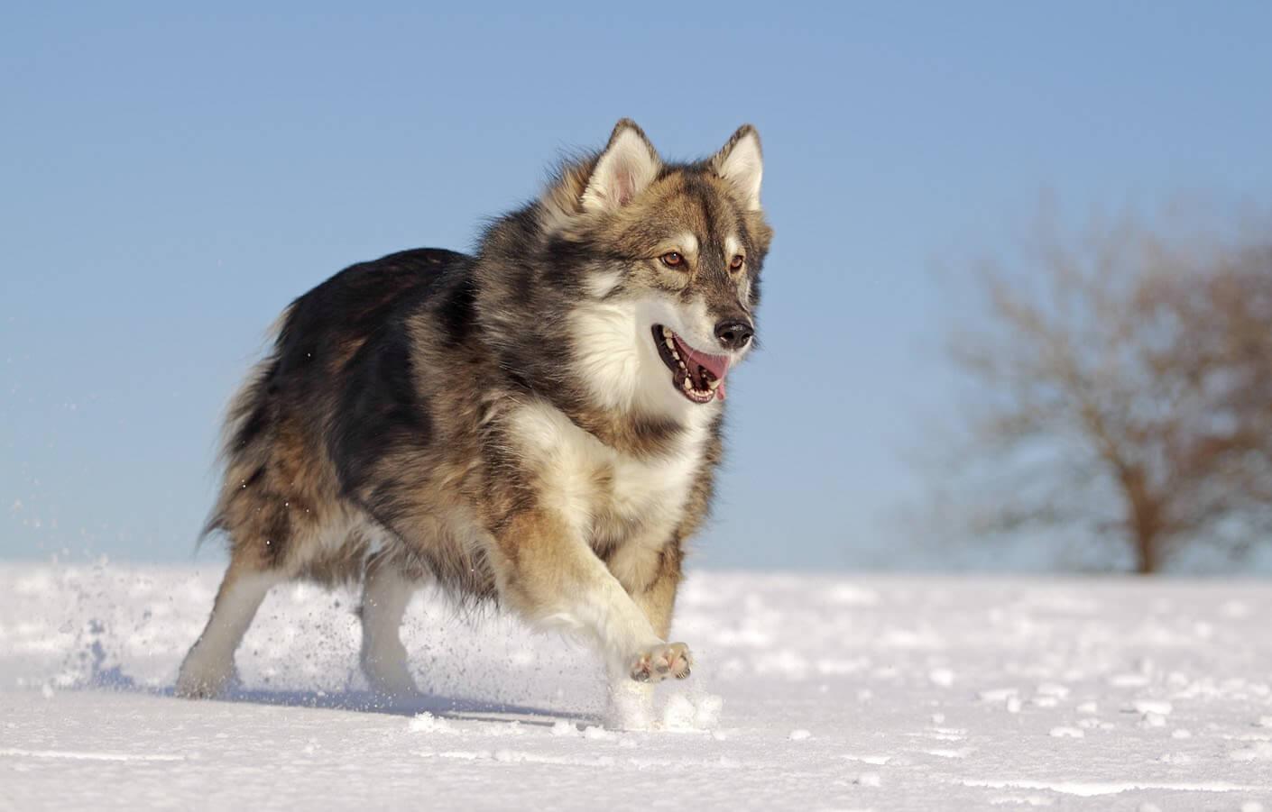 Cão da raça Utonagan