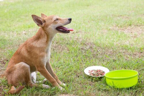 Como tratar os vômitos em cães