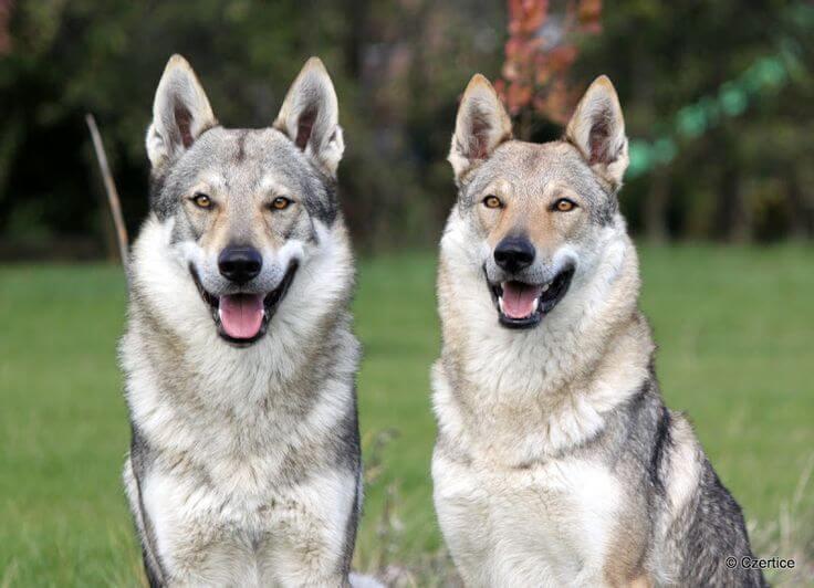 Wolfdogs: cães que mais se parecem com lobos