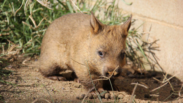 Wombat do Norte