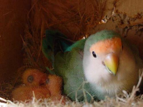 agarponis no ninho com filhotes