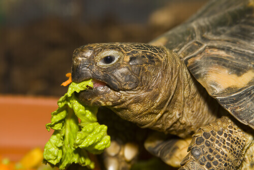 Tartaruga comendo alface