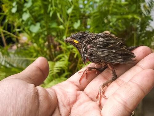Como alimentar um filhote de passarinho