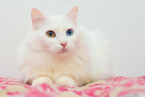 angora com olhos de cores diferentes
